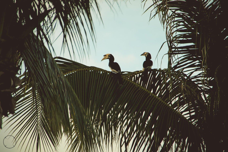 Koh Ngai dubbelhoornige neushoornvogels
