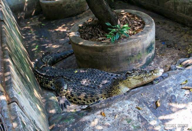 Krokodil bij Wat Chakrawatrachawat Woramahawihan